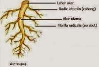 Struktur Organ Akar Tumbuhan
