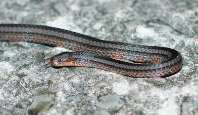 Reed Snake (Calamaria sp)