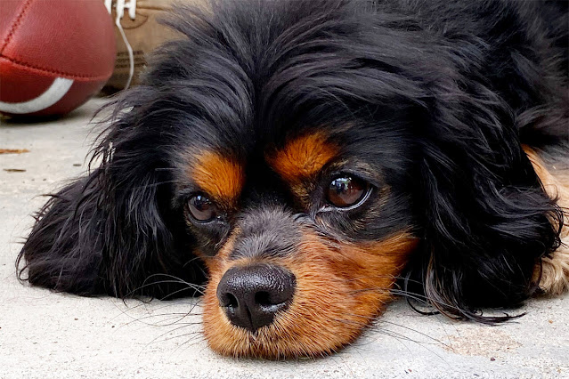 The Writer's Pet: Murphy, the Cavalier King Charles Spaniel belonging to Nicole Blades, author of Have You Met Nora?