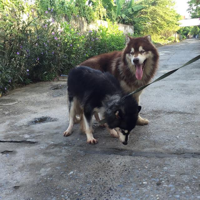 Quý trình phối giống chó alaska