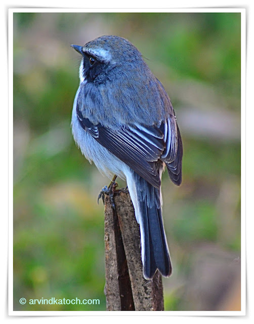 Grey Bush Chat, (Saxicola ferreus)