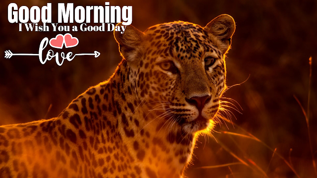 a Tiger Good Morning Images.