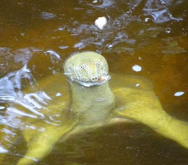 Tartaruga-de-carapaça-mole-chinesa