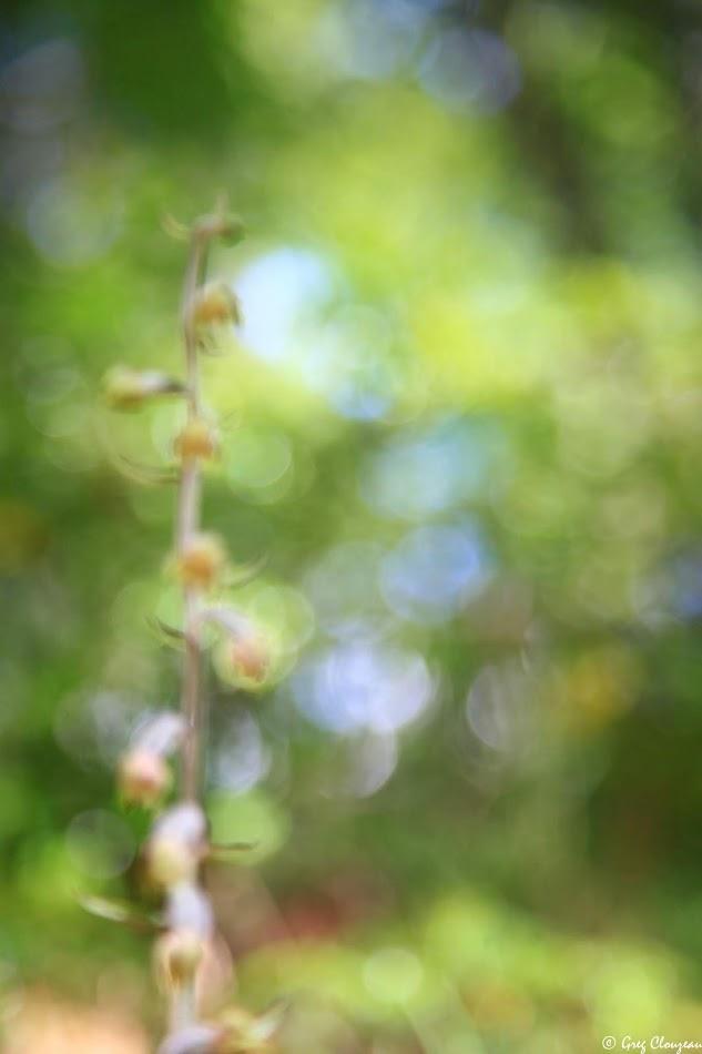 l'Epipactis microphylla Forêt de Fontainebleau