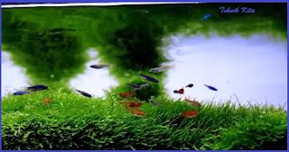 Tanaman aquascape tanpa co2