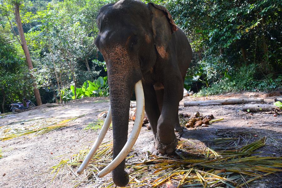 ko samui tajlandia słonie