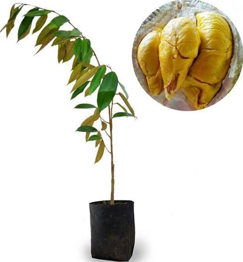 Bibit Tanaman Buah Durian Kumbokarno 60cm Gorontalo