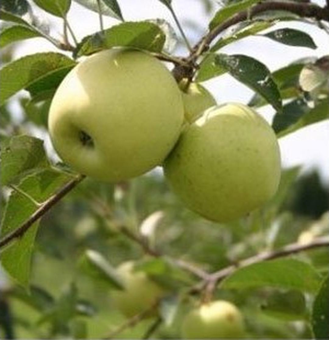 Kualitas Super! Bibit Tanaman Buah Apel Hijau Apel Manalagi Kota Bogor #bibit buah langka