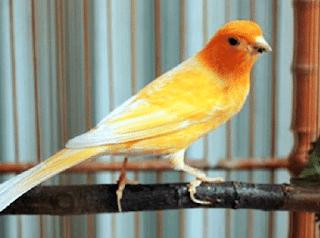Pakan Makanan Untuk Burung Kenari Biar Cepat Gacor Ngerol Dunia