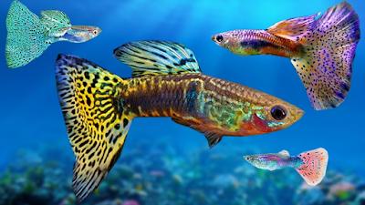 jenis ikan guppy biasa,ikan guppy berasal dari negara,jenis ikan guppy lokal indonesia,budidaya ikan guppy,ikan guppy koi,ikan guppy cobra,ikan guppy berkualitas