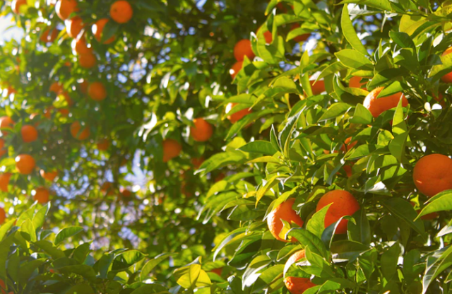 What are the benefits of orange for the body - for the skin - for the teeth - for a pregnant woman