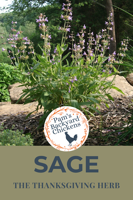 Sage is the classic Thanksgiving turkey and stuffing seasoning.