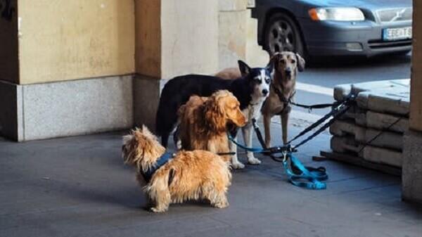 Coccidiosis in dogs Diagnosis Epidemiology Control Cystoisospora canis; Cystoisospora ohioensis-like; Cystoisospora burrowsi; Cystoisospora neorivolta; Life history;