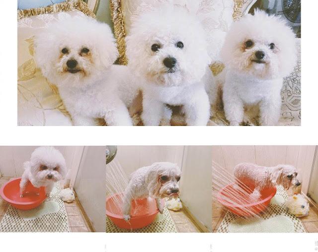 yuan shanshan pet dogs