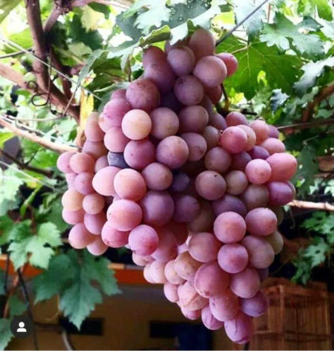 Bisa Borong! Bibit Tanaman Buah Anggur Import Ninel Bibit Anggur Impor Bibit Anggur Ninel Bibit anggur Grafting Kota Malang #bibit buah