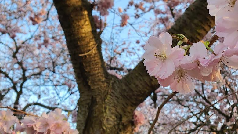黃昏的櫻花
