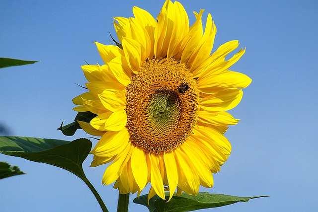فوائد ورق عباد الشمس للصحة وللتنحيف
