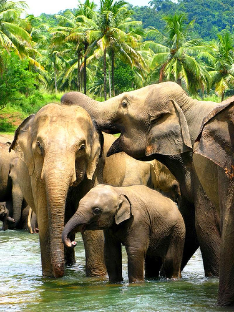 PINNAWALA ELEPHANT ORPHANAGE. 10 Places Not to Miss in Srilanka