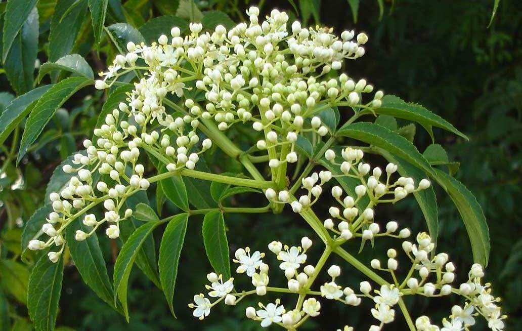 como tomar las hojas de neem para bajar de peso
