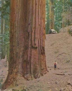 cây cổ thụ khổng lồ