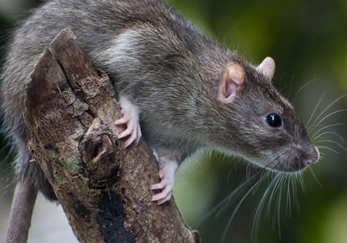 no togel tikus