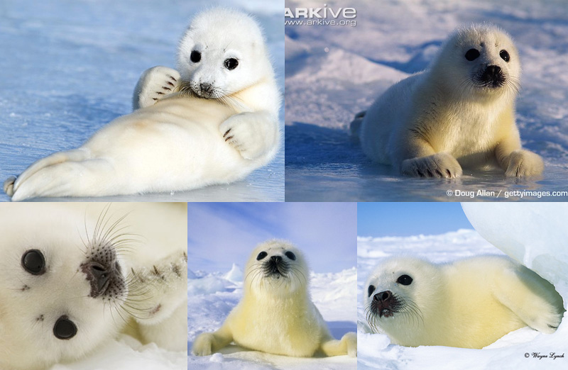 marine biology research paper harp seals Marine predator-prey contests: ambush and speed versus vigilance and agility, marine biology research 8:1, 90-94 fallows c, martin ra, hammerschlag n (2012.