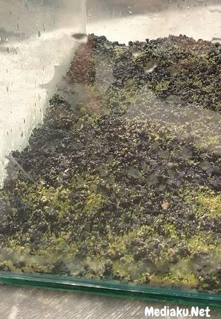 Menanam Carpet Seed Tanpa Pupuk Bisa Tumbuh