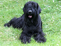 Black Russian Terrier Animal Pictures