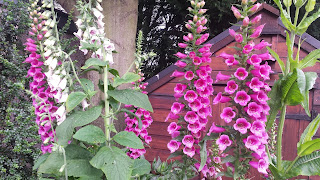 Foxglove grown from seed