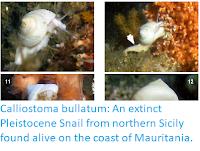 https://sciencythoughts.blogspot.com/2019/06/calliostoma-bullatum-extinct.html