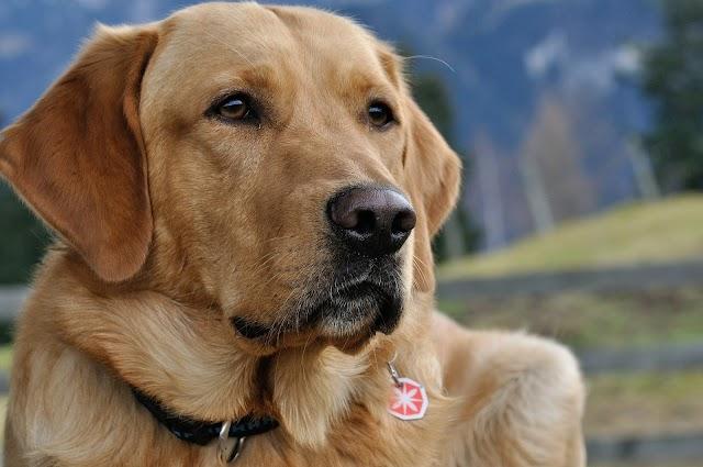 How Long Do Labs Live? Labrador Retriever Life Span