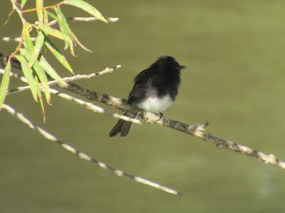 northern california birding birdwatching