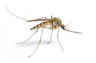 Tigrasti komarac - Panvet veterinarska stanica Subotica
