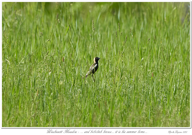 Wachusett Meadow: ... and bobolink knows... it is his summer home...