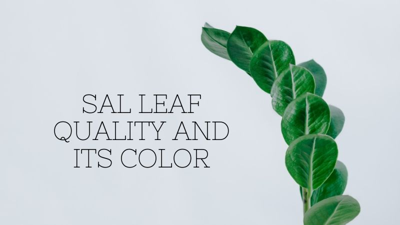 Sal leaf quality and its color