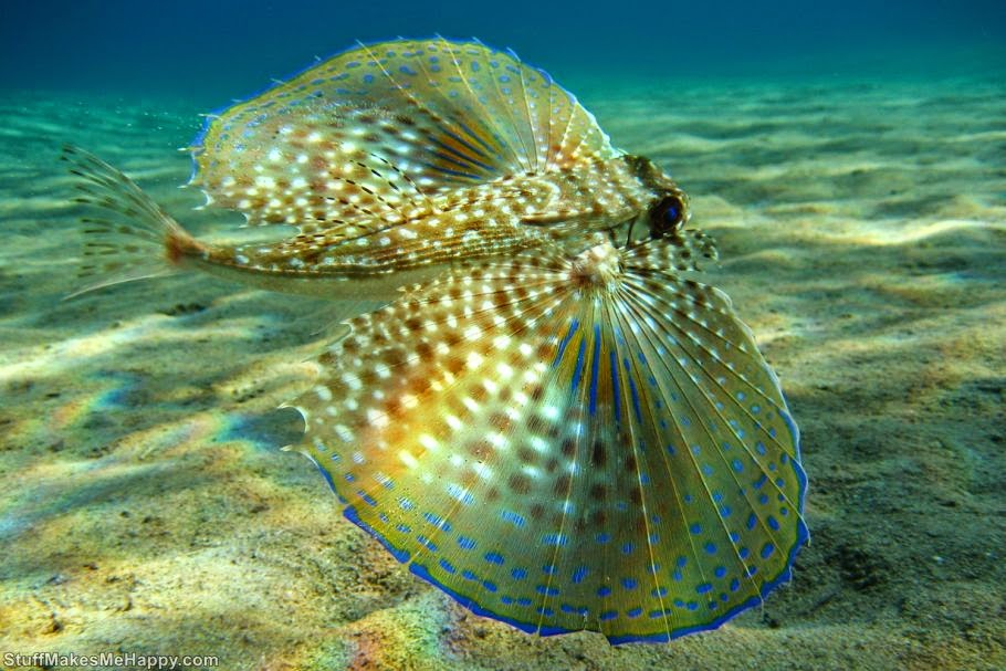 Flying gurnard, Photo by Beckmann Jan