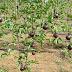 Pesquisadores desenvolvem na Bahia 1º sistema de maracujá orgânico do Brasil