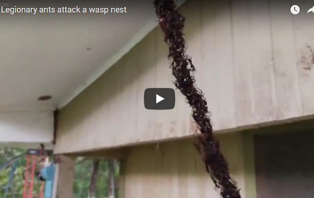 Μυρμήγκια κομάντο πραγματοποιούν καταδρομική επίθεση σε σφηκοφωλιά (vid)