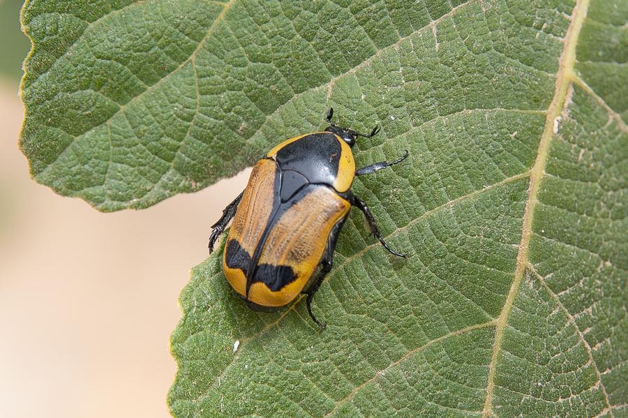 Pachnoda Beetle