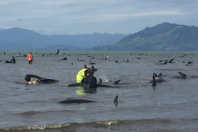 """Largest """"Whale Sentinel"""" Beaching In Human History Prompts Russian Navy Evacuation  8258294-3x2-700x467"""