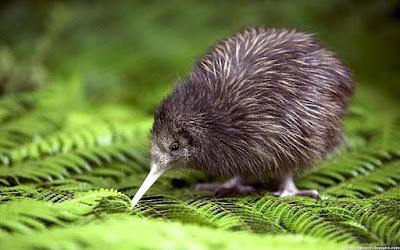 Fakta Tentang Burung Kiwi