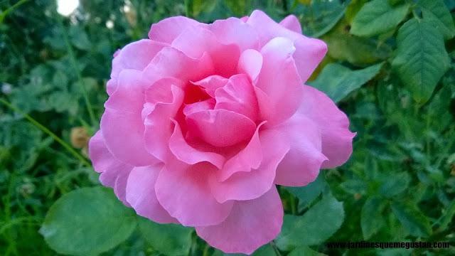 planta, rosal de flor rosa