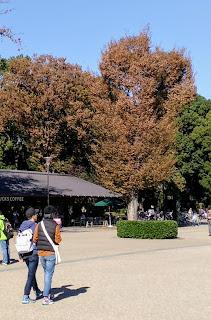 上野公園の銀杏の写真。塩害で茶色に。