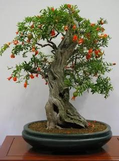 PomegranateBonsai tree