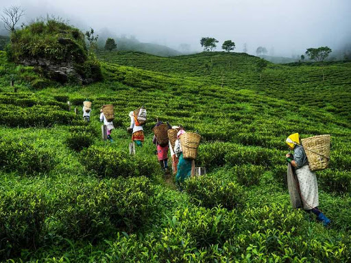 Darjeeling tea trade