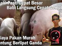 Cara Sukses Ternak Babi Cepat Besar Dan Gemuk (Terbukti)
