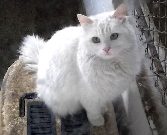 turkish-angora-cat-list-trend