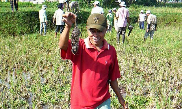 Hama Tikus Rugikan Petani Aceh Tenggara