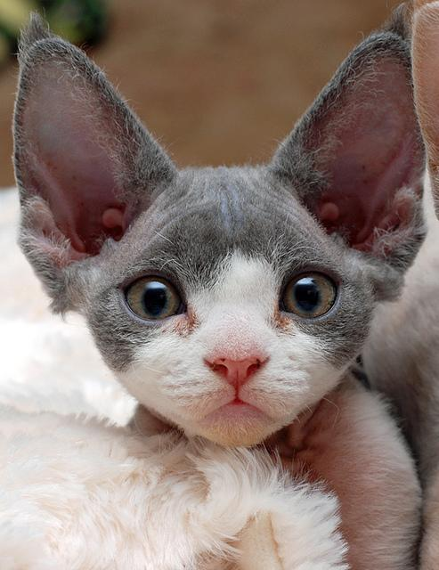 How Much Does A Devon Rex Kitten Cost?