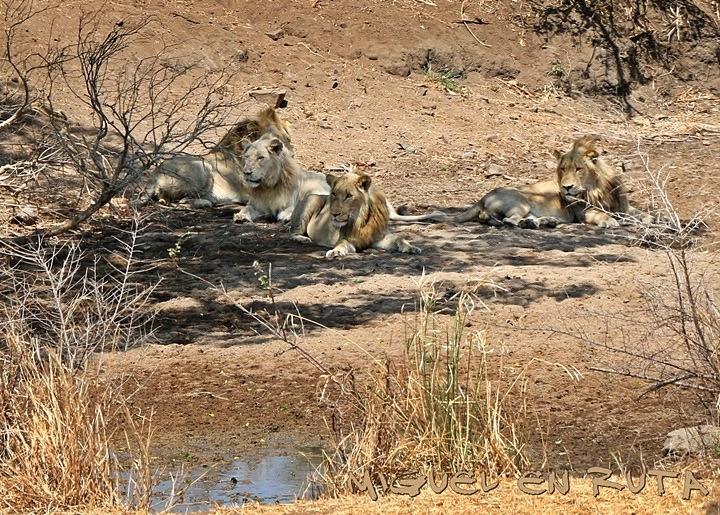 Shishangan-lions, Kruger